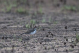 Forbes' Plevier - Forbes's Plover - Charadrius forbesi