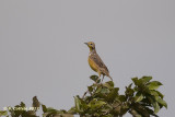 Geelkeellangklauw - Yellow-throated Longclaw - Macronyx croceus
