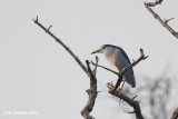 Kwak - Black-crowned Nght Heron - Nycticorax nycticorax