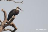 Bisschopsooievaar - Woolly-necked Stork - Ciconia episcopus