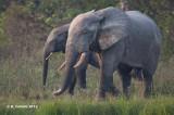 Olifant - Elephant - Loxodonta africana