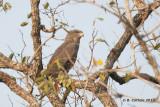 Bruine Slangenarend - Brown Snake Eagle
