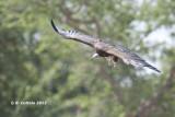 Kapgier - Hooded Vulture - Necrosyrtes monachus