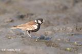 Bruinrugvinkleeuwerik - Chestnut-backed Sparrow Lark