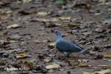 Afrikaanse Houtduif - Afep Pigeon - Columba unicincta