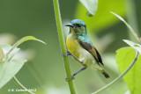 Ornaathoningzuiger - Variable Sunbird - Cinnyris venustus