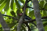 Dwergtok - Red-billed Dwarf Hornbill