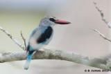 Senegal-IJsvogel - Woodland Kingfisher - Halcyon senegalensis