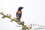Fluweelwever - Vieillot's Black Weaver