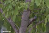 Grijsgroene Specht - Grey Woodpecker- Dendropicos goertae