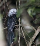 Witkuiftok - White-crested Hornbill - Tropicranus albocristatus