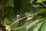 Zwartkapapalis - Black-capped Apalis - Apalis nigriceps