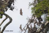 Vleerhond - Flying Fox