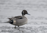 Pijlstaart - Northern Pintail - Anas acuta