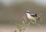 Zuidelijke Klapekster - Southern Grey Shrike - Lanius meridionalis