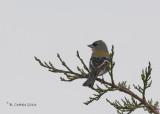 Afrikaanse Vink - Common Chaffinch - Fringilla coelebs africana