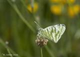 Gestreept Marmerwitje -Green Striped White - Euchloe belemia