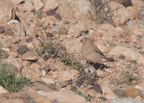 Woestijnvink - Trumpeter Finch - Bucanetes githagineus