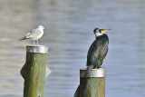 Great Cormorant (Phalacrocorax Carbo) and a Gull