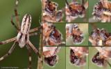 Argiope lobata_MA0847 EM-2.jpg