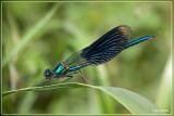 Weidebeekjuffer - Calopteryx splendens