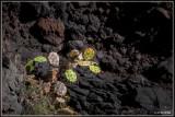 Opuntia ficus-indica - vijgcactus
