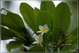 Plumeria rubra - Tempelboom - Frangipani