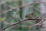 Canarische Tjiftjaf - Phylloscopus canariensis