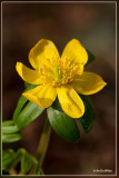 Winterakoniet  - Eranthis hyemalis