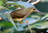 Spectacled Spiderhunter