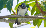 White Rumped Woodswallow
