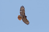 Red-tailed Hawk (western)