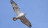 Ferruginous Hawk; Craighead Co Arkansas