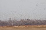 Geese near Jonesboro, AR