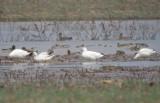 Eurasian Wigeon & Ross's Geese