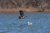 Bald Eagle & Ring-billed Gull