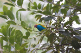 Bay-headed Tanager (Bay-and-blue)