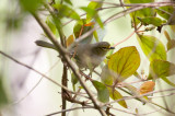 Golden-faced Tyrannulet (Golden-faced)
