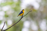 Thick-billed Euphonia (Black-tailed)
