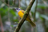 Gray-headed Tanager (Gray-crested)
