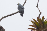 Hook-billed Kite (Hook-billed)