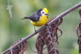Golden-fronted Redstart