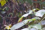 Orange-billed Nightingale-Thrush (Gray-headed)