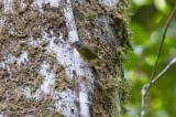 White-lored Warbler