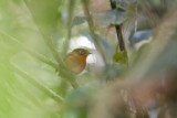 Rusty-breasted Antpitta (Rusty-breasted)