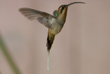 Long-billed Hermit (Central American)