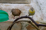 Ruddy Ground-Dove & Saffron Finch