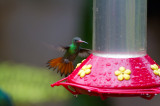 Rufous-tailed Hummingbird (Rufous-tailed)
