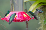 2 Indigo-capped, Sparkling Violetear, White-bellied Woodstar