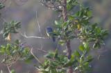 Black-cheeked (Santa Marta) Mountain-Tanager